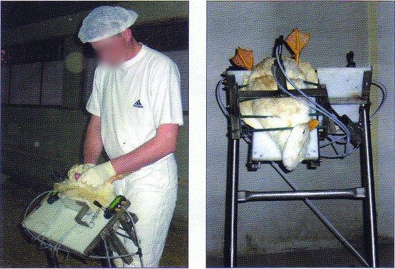 foie gras l 39 ins mination artificielle est g n ralis e blog de helptheanimals. Black Bedroom Furniture Sets. Home Design Ideas