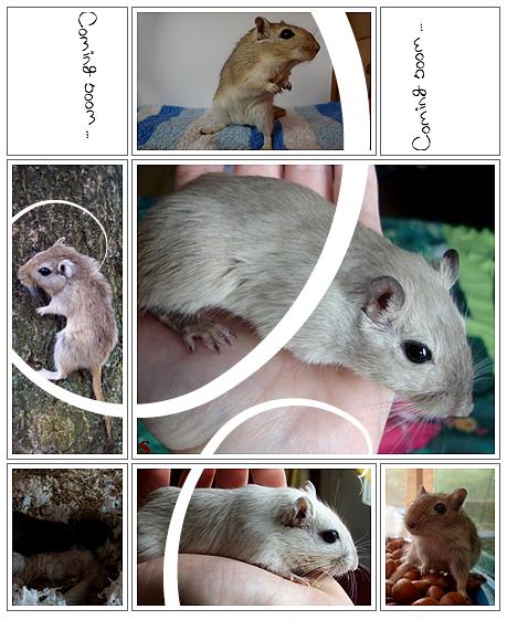 Nos Meriones'  des êtres adorables & attachants ! Montage by Priscilla Merci !   Pour en savoir + sur ces animaux attachants ♥, inscrivez vous à l'adresse suivante : gerbilles-passion.com