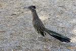 L'oiseau coureur