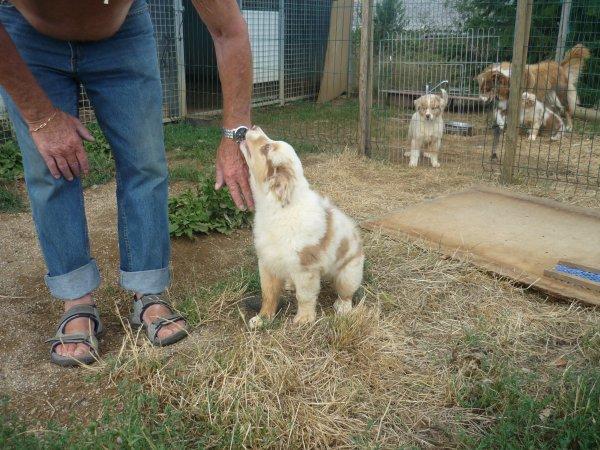 chiots berger australiens lof disponibles