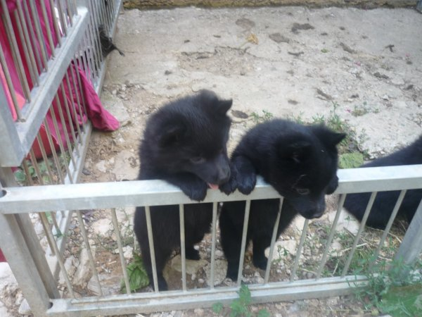 Schipperke lof disponibles
