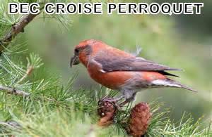 bec croisé perroquet