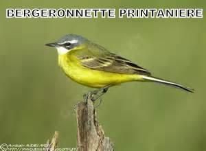 Bergeronnette printanière