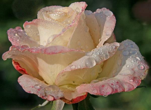 ~~(^v^)~~ LA ROSE (^v^) dont tu m'as PARLÉ et d'autres ROSES BICOLORES ~~(^v^)~~  ~~(^v^)~~ http://le-ballet-des-mots.skyrock.com/ ~~(^v^)~~