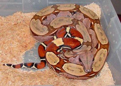 Boa Constrictor-Constrictor