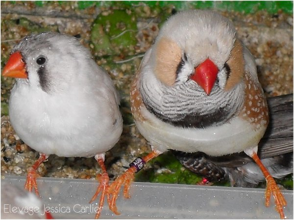 Deux des six oiseaux que j'ai accueilli en 2010