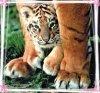 amba-the-tiger