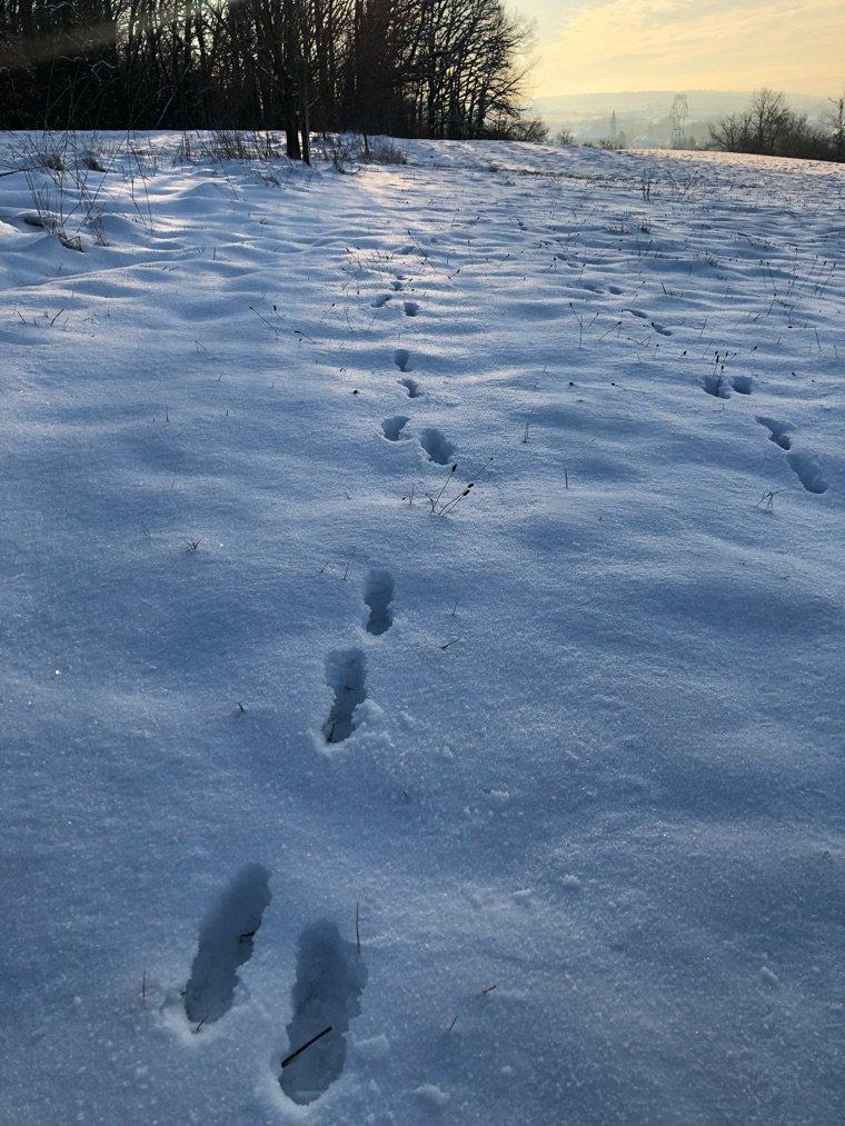 Les traces du renard