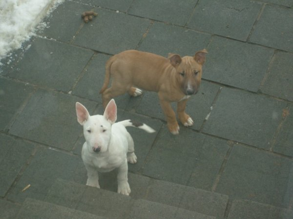 Male bull terrier a vendre,(kiko)