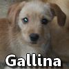 Gallina1208