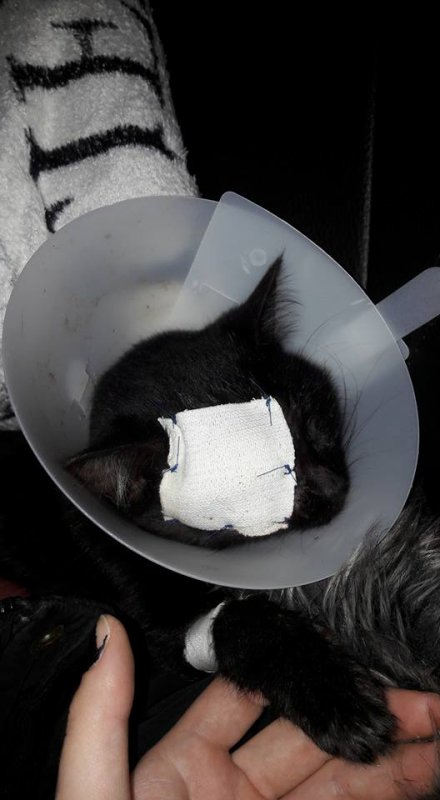 Couvin: frappé violemment, le chat risque de perdre son ½il,elle a été opéré ce matin