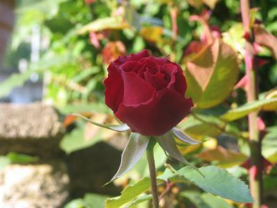 Juste une rose