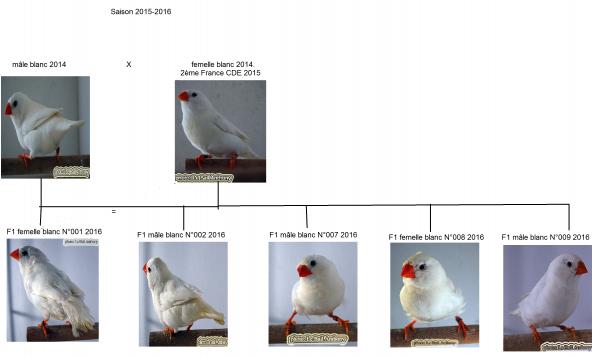 mandarin couple 1 .F0  mâle blanc 2014X femelle blanc 2014