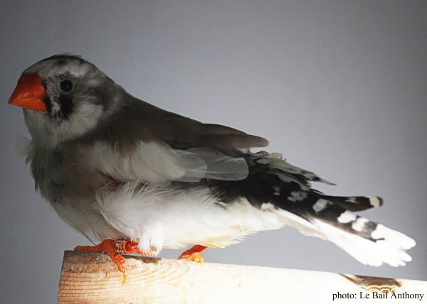 mandarin couple 2 .F0  mâle blanc 2014X femelle panaché gris 2014 leurs jeunes 2016