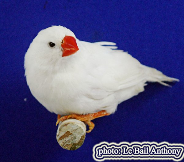 mandarin souche 3 F0. mâle blanc 2014 X femelle panaché gris 2016