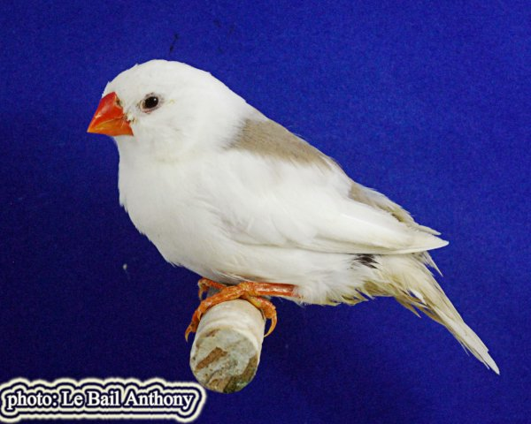 mandarin couple 8 .F0  mâle blanc 2014X femelle scellé brune 2015