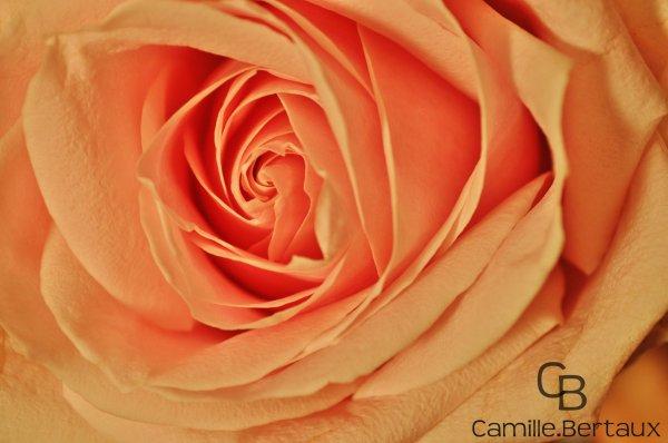 La Rose Est La Fleur Par Excellence