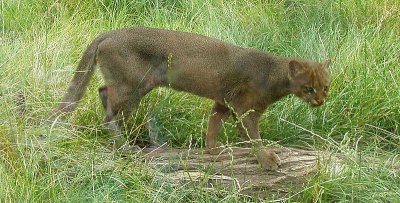70986996a5a0a Le jaguarondi (Puma yagouaroundi) encore appelé eyra ou chat loutre est une  petite espèce de félin d Amérique à la robe uniformément noire