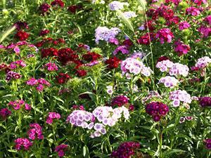 pense bete pour le jardin: les oeillets