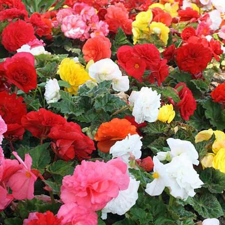 pense bete pour le jardin: les begonias d'extérieur