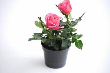 pense-bete pour jardin: les minis rosiers