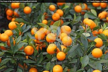 qui a deja essayé cette recette de sorbet aux mandarines