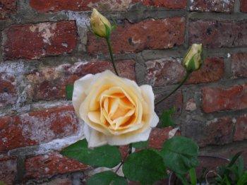 dernieres roses de mon jardin pour cette année