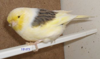 canaris glosters