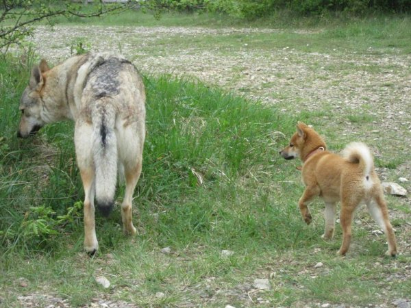 Kitsune (Shiba Inu mâle de 4 mois) et Kenshin - 1