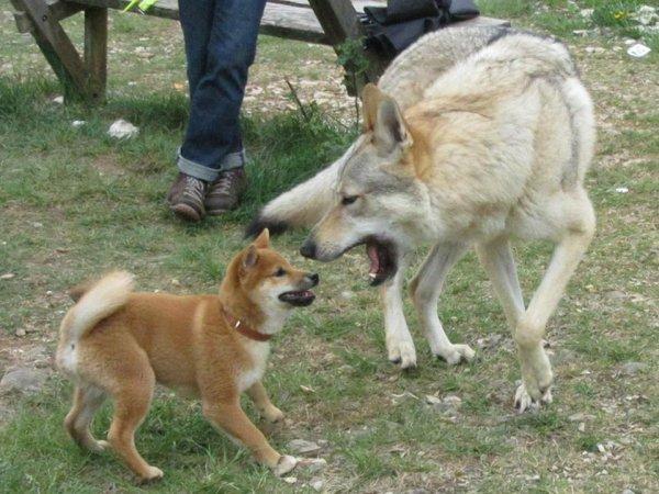 Kitsune (Shiba Inu mâle de 4 mois) et Kenshin - 2