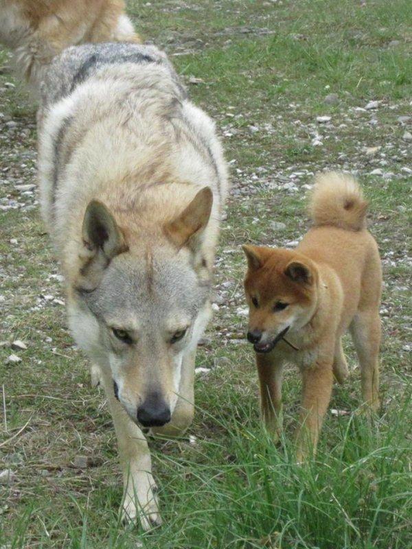 Kitsune (Shiba Inu mâle de 4 mois) et Kenshin - 3