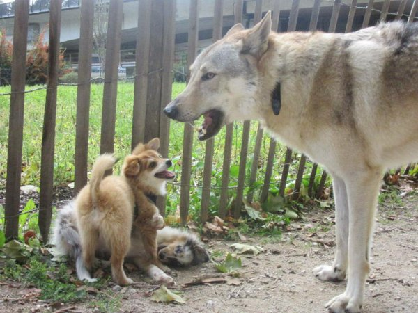 Kenshin     et les Puppies