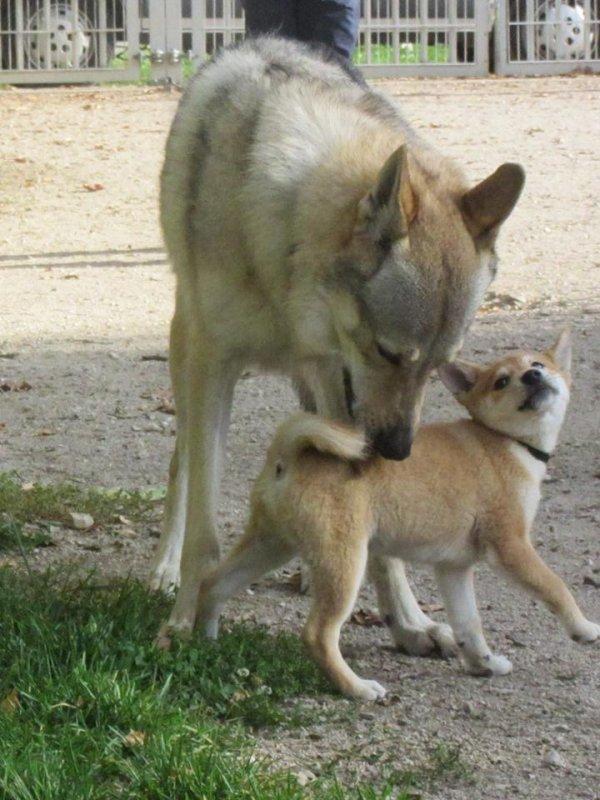C.L.T. et bébé Shiba Inu