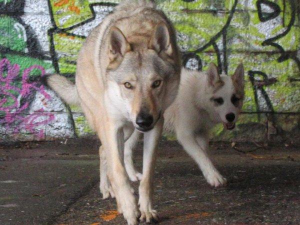 Kenshin  &  Leïko  (jeune femelle husky x Groenlendais)