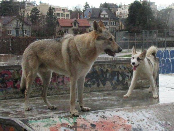 Kenshin  &  Leïko  (jeune femelle husky x Groenlendais)  2