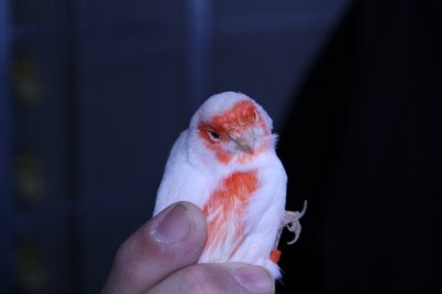 femelle lipo mosaïque rouge