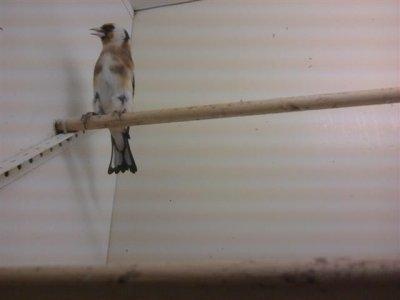 Chardonneret élégant Carduelis carduelis  Passériformes Famille : Fringillidés