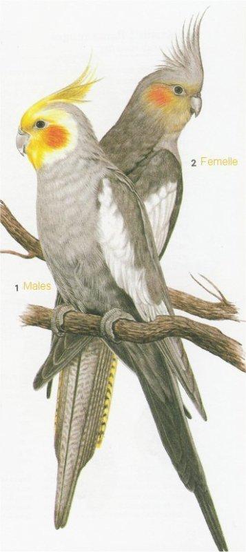 4 les mutations blog de nymphicus hollandicus - Dessin perruche ...