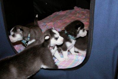Nos bébés husky sibérien!!!!!!!!!!!!! 3 semaines déja !