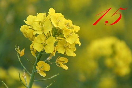 Les plantes toxiques meth o ne tout sur nos longues oreilles - Mauvaise herbe fleur jaune ...