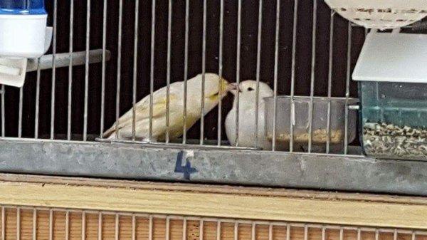 Mes oiseaux se font des bisous 💕❤❤