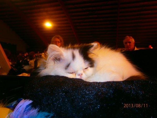 idalgo chatons persans van noir