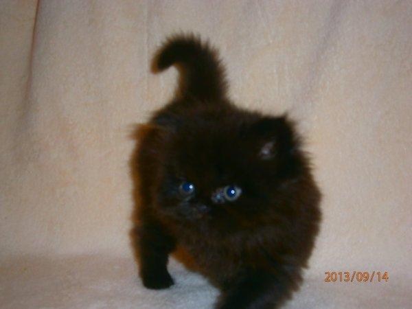 a reserver 2 chatons persans sens pédigrée