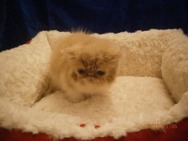 IODA CHATON EXOTIC SHORTHAIR