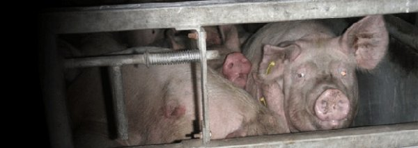 ANIMAUX : abattage cruel - Article sur : www.ClicAnimaux.com