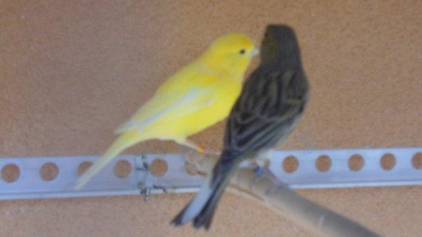 Femelle jaune intensif