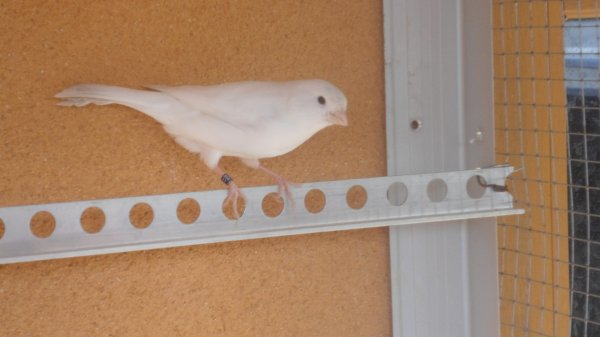 Canaris blanc