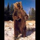 Photo de ours-gris