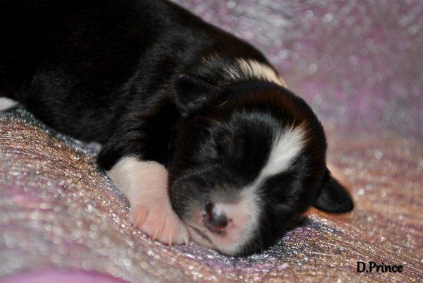 Kara, petite femelle chihuahua