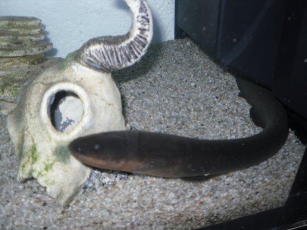 Nouveau poisson : Mon Electrophorus Electricus...